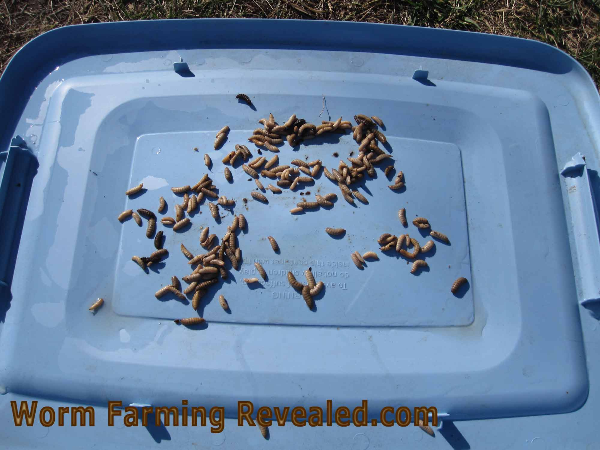 Dozens of Single Black soldier fly larvae