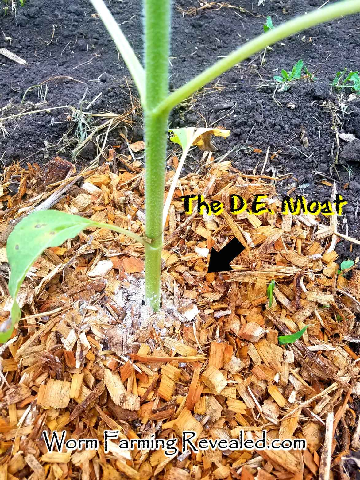 Diatomaceous Earth on Plants
