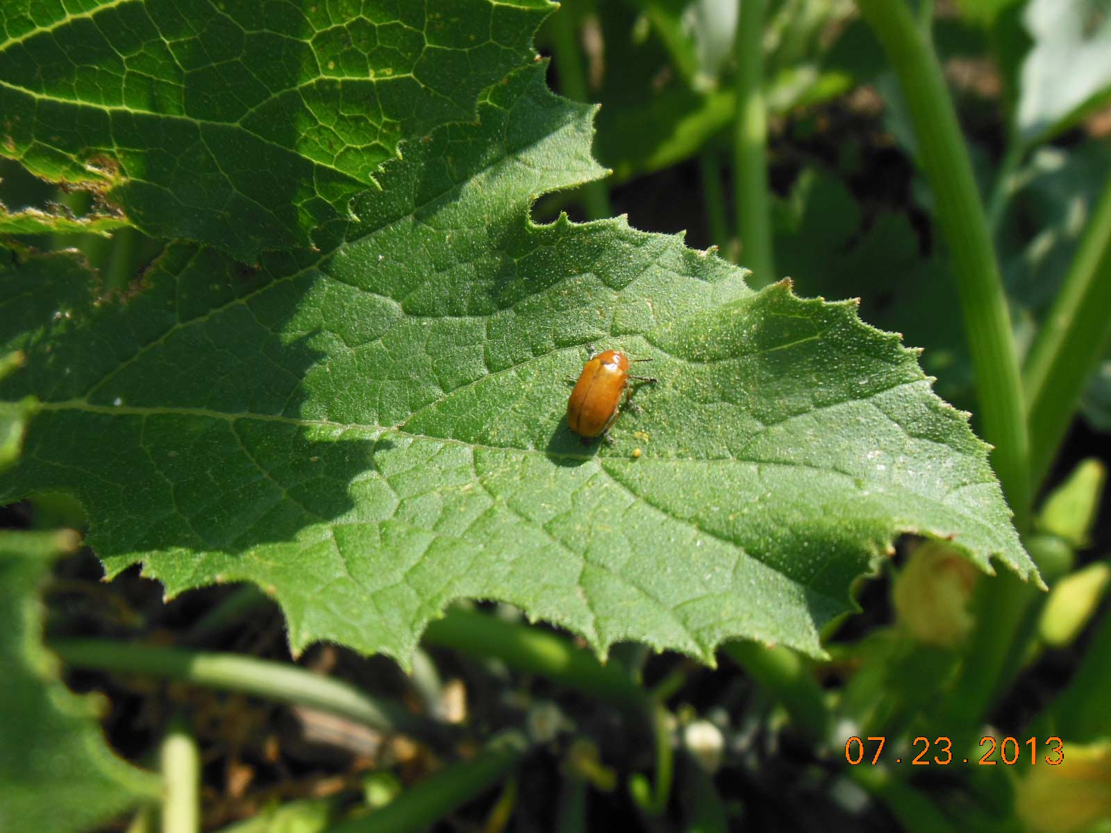 Asiatic garden beetle on squash no problem He doesn't like the taste.