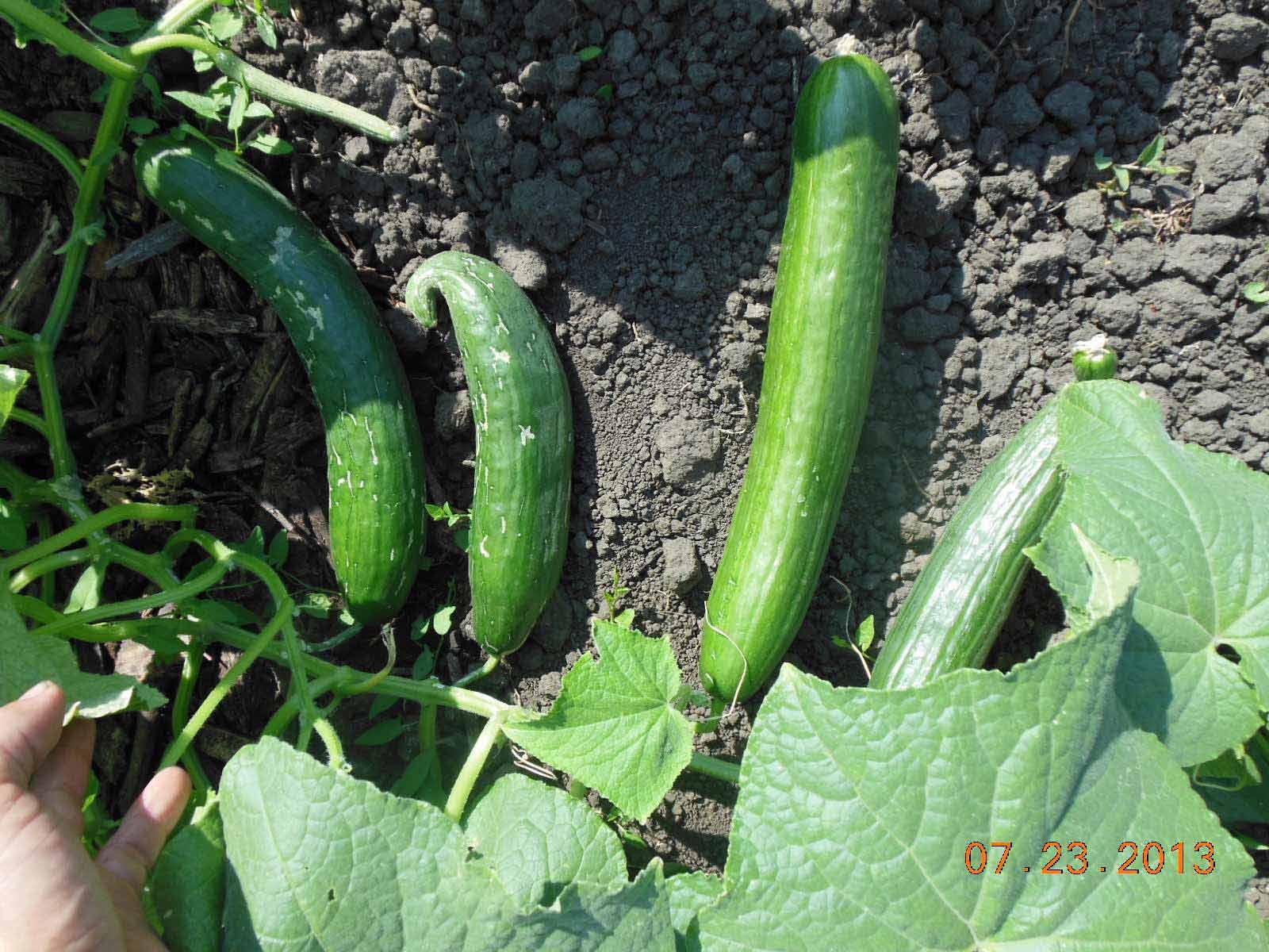 English cucumber sweet and crisp 2013 pic 2
