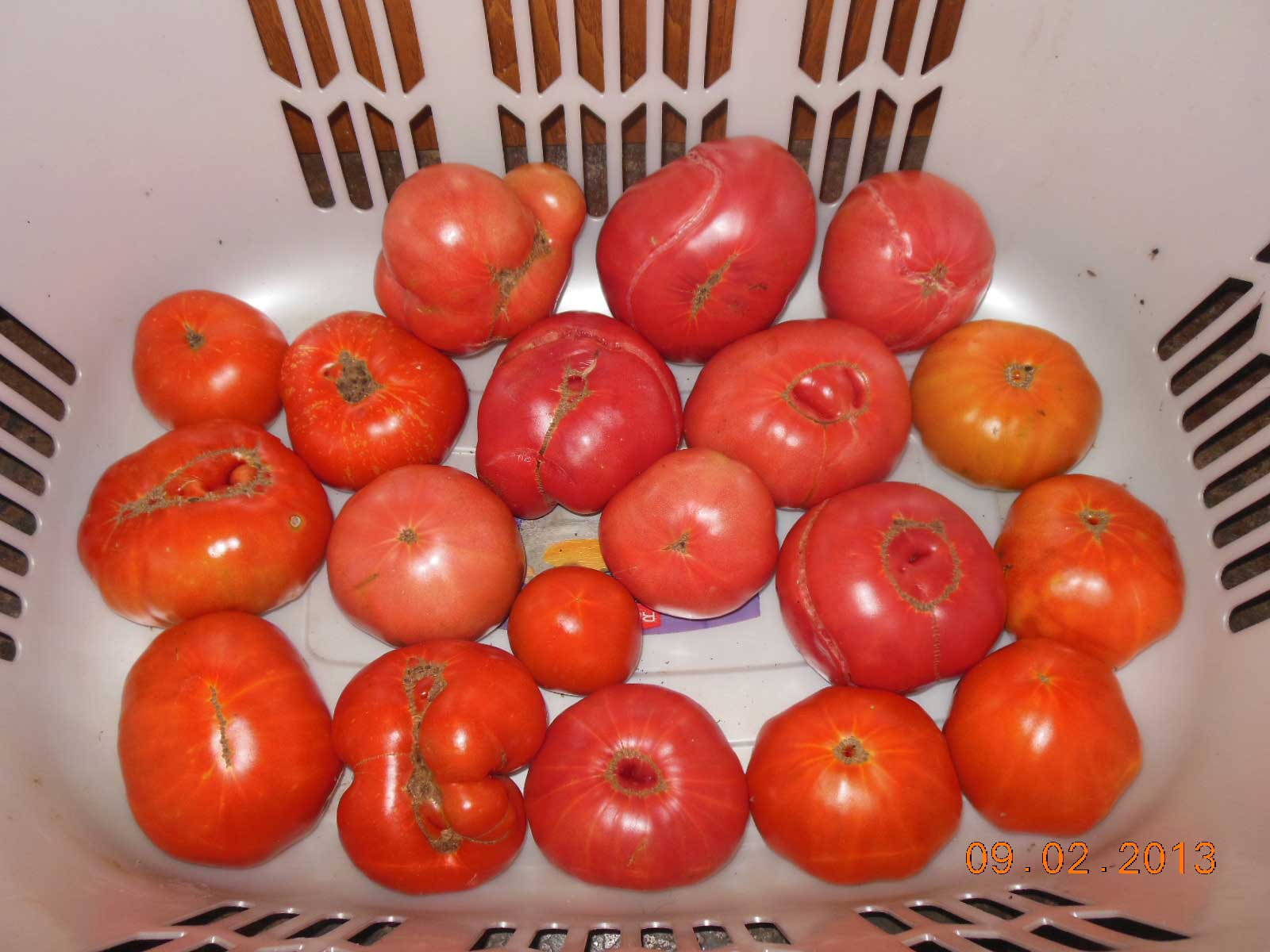 One of many tomato harvests in 2013