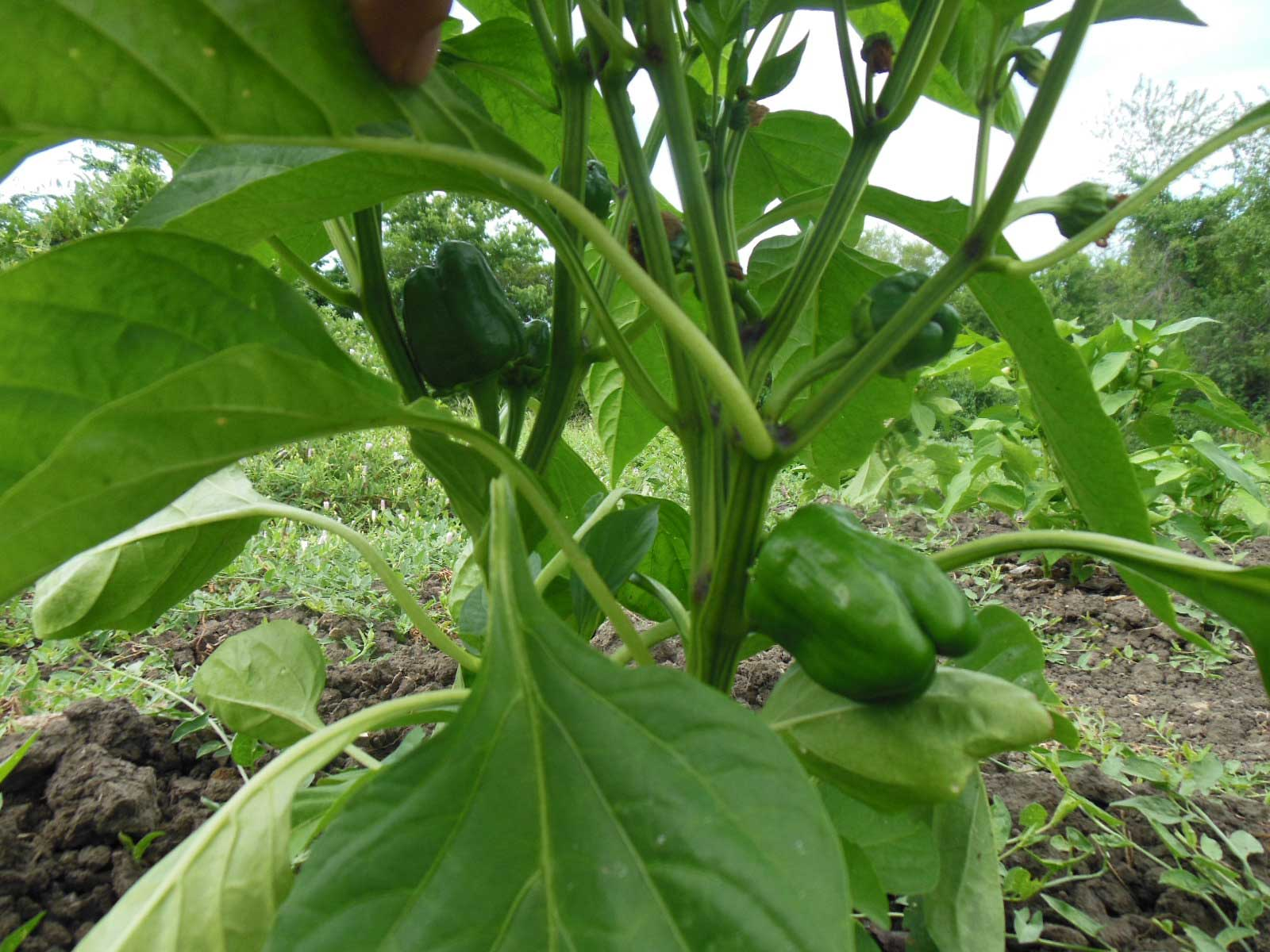 Red peppers in July of 2013 pic 2