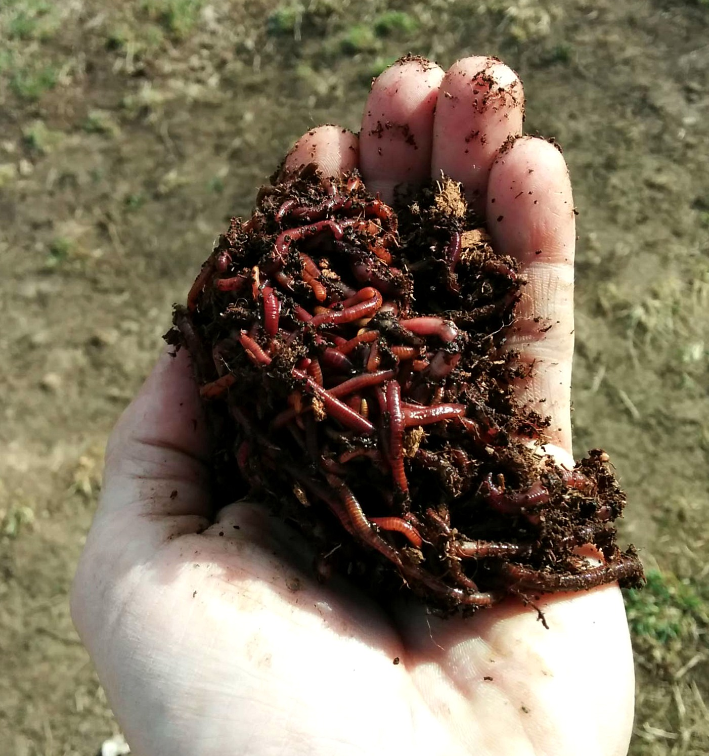 Red Wigglers from the book The Worm Farming Revolution