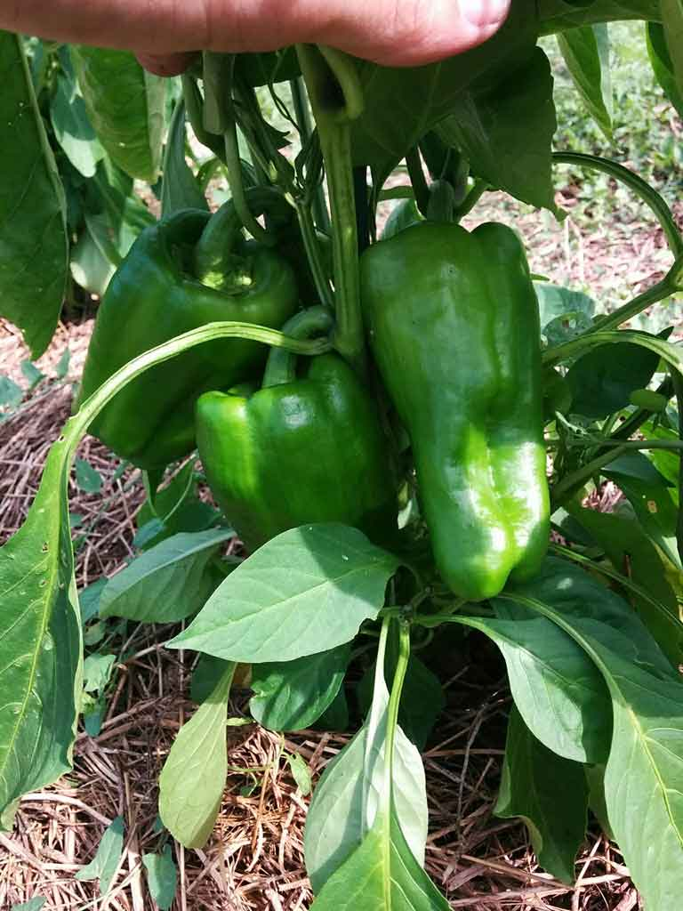 Castings on Peppers