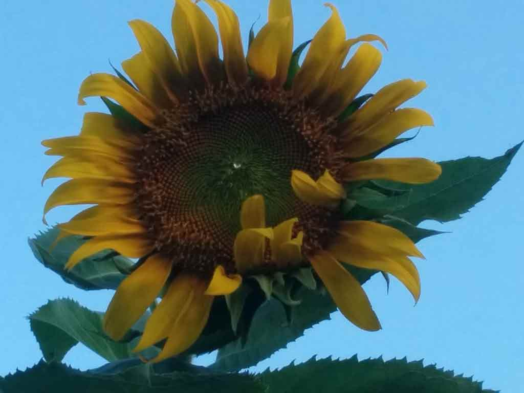 Worm Castings on Sunflowers