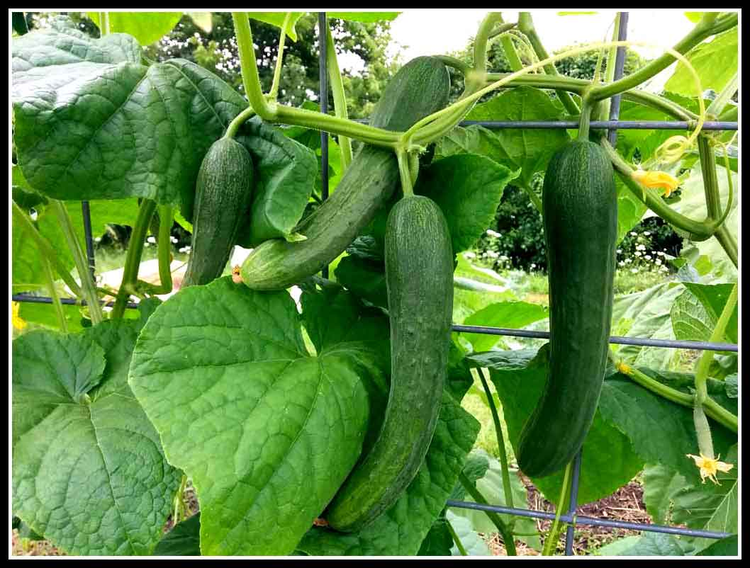 Worm Castings on Cucumbers