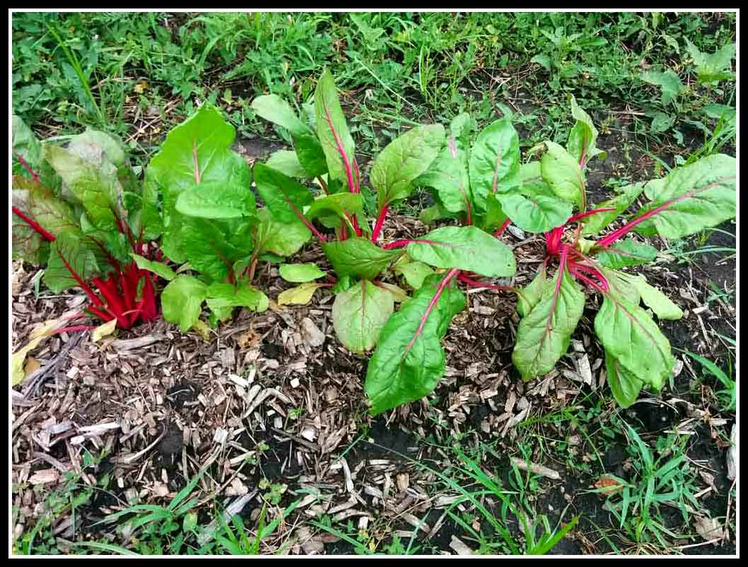 Worm Castings on Swiss Chard