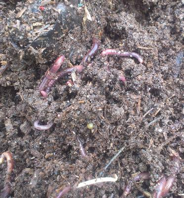 Worms at Work In The Continuous Flow Through Worm Bin